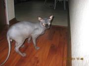 Кот канадского сфинкса