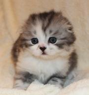 Шотландские котята от титулованных производителей