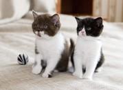 продаются британские котята из питомника
