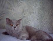 ВЯЗКА! британский лиловый котик приглашает кошечек