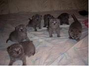 британские котята из питомника