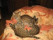 Котята наличии-10 до 19 недель из нашей коллекции.
