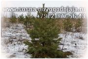 новогодняя СОСНА 1.3-2.5 метра опт