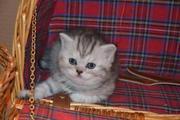 Предлагаем !Котята для Вас!Выбирайте шотландцев!
