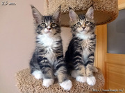 Котята породы мейн-кун,  домашние рыси