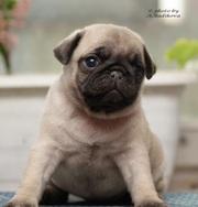 мопс щенок