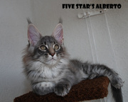 котята мейн-кун из питомника Five Star's