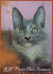 Котенок мейн кун из питомника RU*VIOLET PLACE.