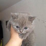 Котенок британский короткошёрстный