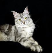 Котята породы мейн-кун из питомника Silver Lynx.